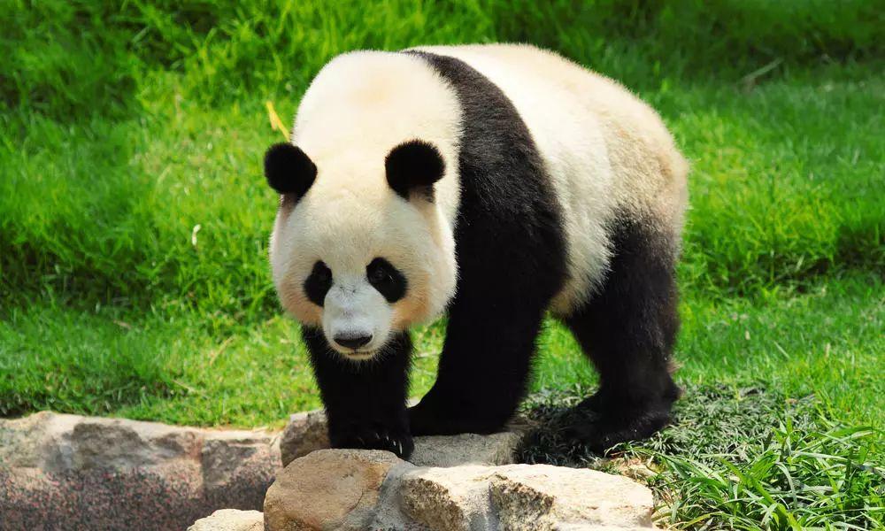 大熊猫是世界生物多样性的旗舰 种,其黑白分明、憨态可掬的外表为全世界人民所喜爱。大熊猫也是生物多样性保护的伞护种,在保护大熊猫的同时也保护了与其同域分布的珍稀濒危动植物。为拯救大熊猫,中国政府投入了大量的资金,先后在大熊猫分布区建立了67个自然保护区(下图为2010年大熊猫栖息地分布图),总面积达33118平方千米,对大熊猫的有效保护起到了重要的作用。  第四次大熊猫调查结果表明,野生大熊猫种群数量和栖息地面积均处于逐渐增长态势,我国大熊猫的保护成效显著。据此,2016年国际自然保护联盟(Internat