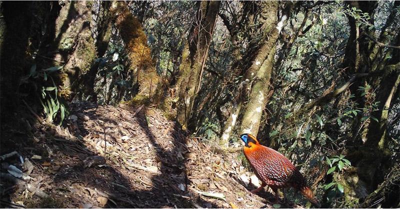 云南澜沧江保护区首次拍到红腹角雉