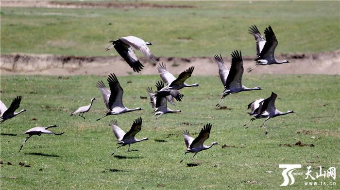 大群野生灰鹤在牧场草原上方飞舞,灰压压一大片,十分壮观.