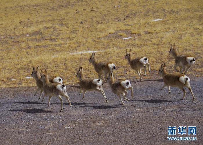 [野生动植物]西藏阿里:野生动物的乐园