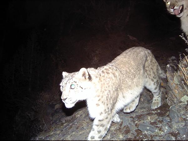 黄河源地区记录到健康雪豹种群