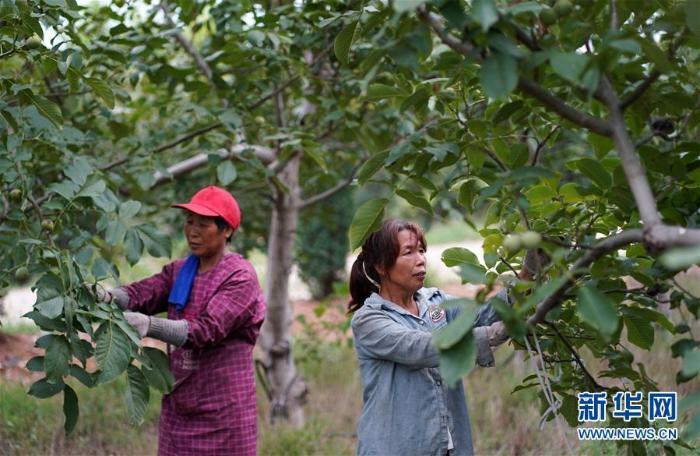 [林业扶贫]河北临城:核桃产业助农脱贫增收