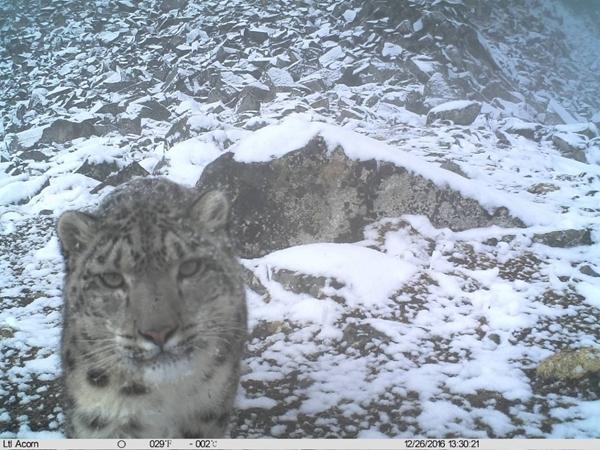 四川卧龙发布雪豹十年