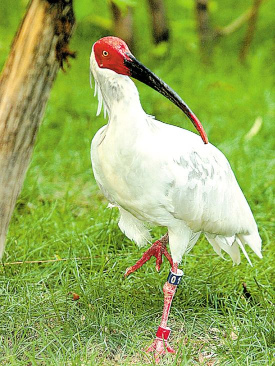 我国十大最珍稀濒危鸟类