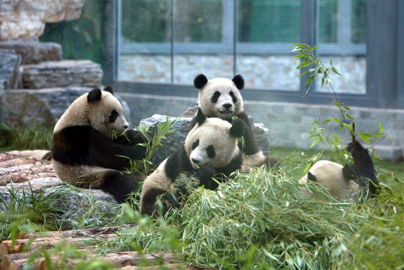 奥运大熊猫抵达北京动物园2