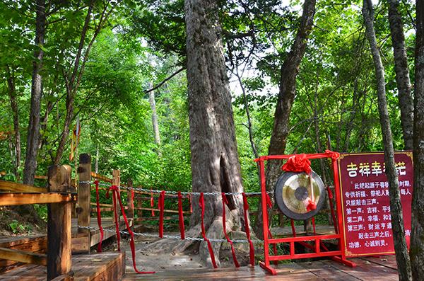 最美古�涿�木:守望故土�汕�年的紫杉王夫妻��