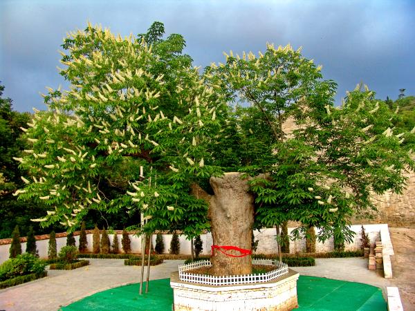 最美古树名木:山西阳城马沟娑罗树