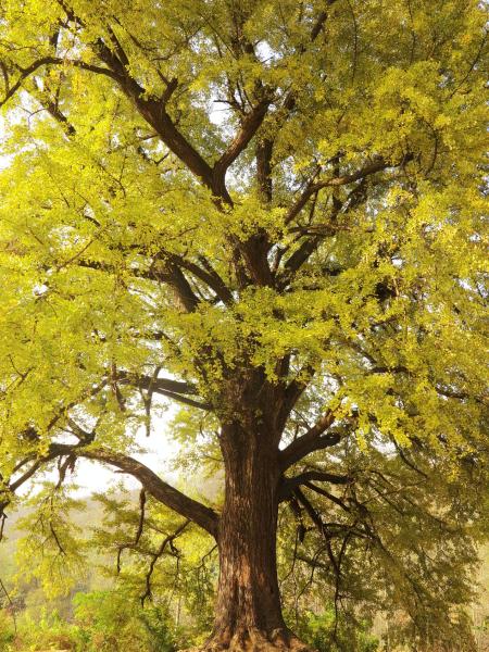 最美古树名木:信阳市名木古树