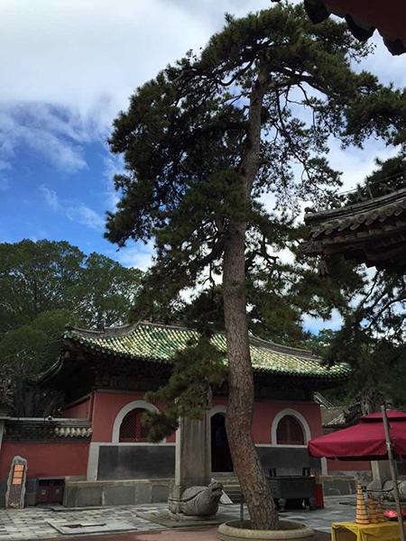 这是两棵松树的合称,龙松树干上的皮微微翘起