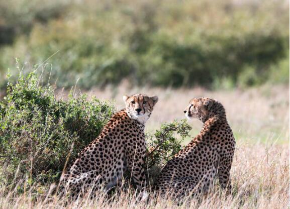 陆地上跑得最快的动物——猎豹面临濒危