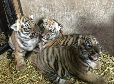 上海动物园华南虎宝宝满月啦