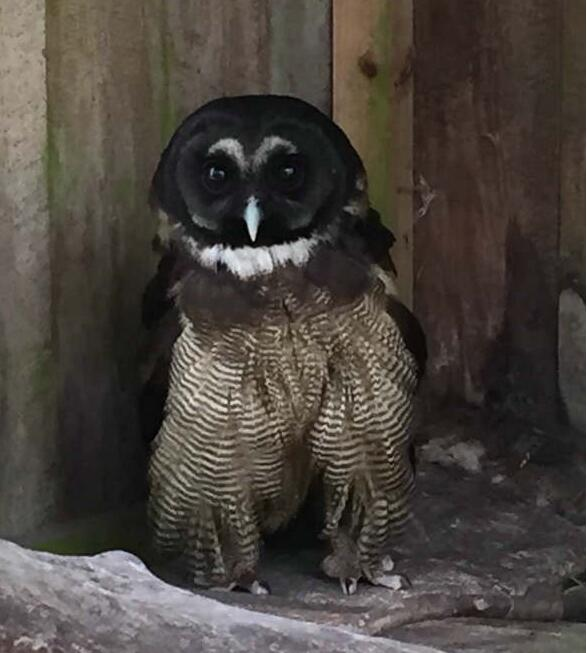 """本周一上班,磐安县林业局野生动植物保护管理站执法人员就到达了事发现场,找到了朋友圈中的那只很萌的""""大鸟""""。经过仔细调查和询问,清楚了事情的经过。据山庄负责人李先生介绍,大鸟是其在山上劳作时发现的,看到的时候很是惊讶,因为从来没见过这么大的鸟,当时""""大鸟""""翅膀受伤严重,不能飞行,于是他就将其抱回来救护了。为了照顾好这个大家伙,李先生不仅买来了大笼子,而且还每天买肉来喂养它,吃的比人都好。几个月养护下来,光买食物就花了5000多元钱。"""