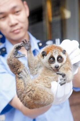 深圳一植物园发现国家一级保护动物倭蜂猴