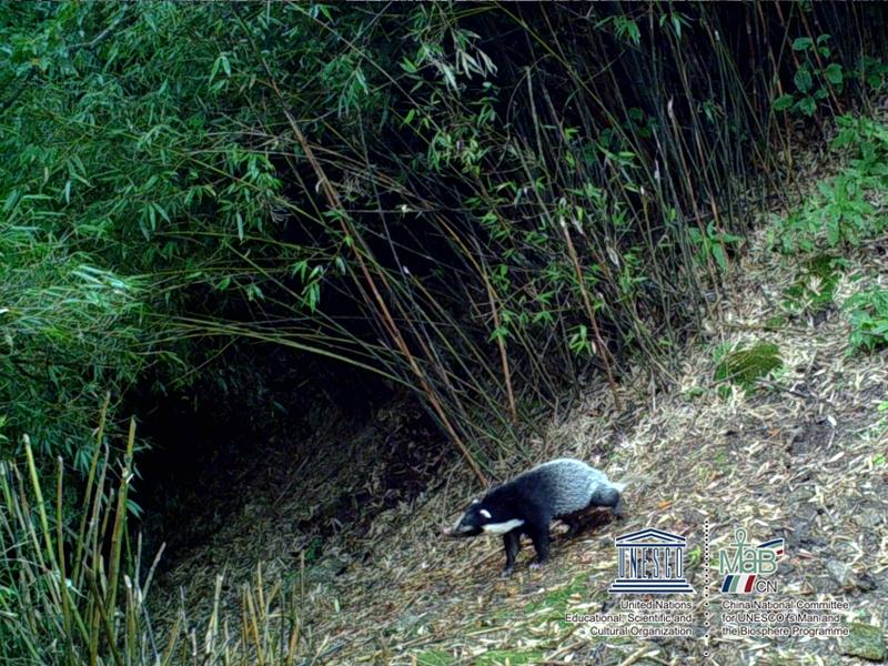 白水江保护区红外相机捕捉到的珍贵动物影像