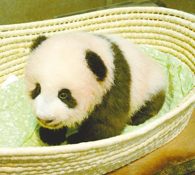2017年9月20日,日本东京上野动物园内的大熊猫幼崽香香. 人民视觉