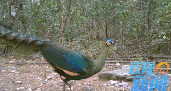 云南 玉溪新平发现濒危国家Ⅰ级保护动物野生绿孔雀及其栖息地
