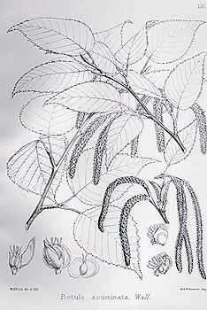 布兰迪斯《印度树木志》中的手绘植物