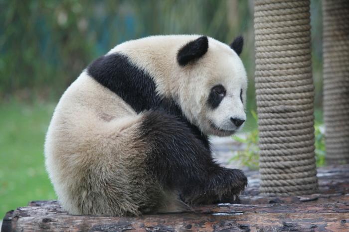 大熊猫憨态可掬的可爱模样深受全球大众的喜爱