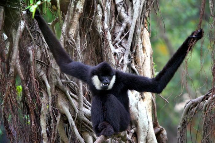 黑冠长臂猿